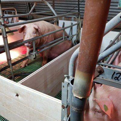 Farrowing crate on Beerburrum pig farm.