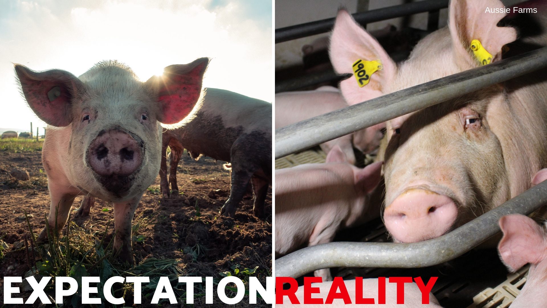 Pigs in farrowing crates