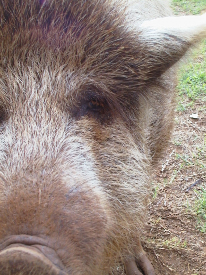 Pig Dogging – the Bloody Truth