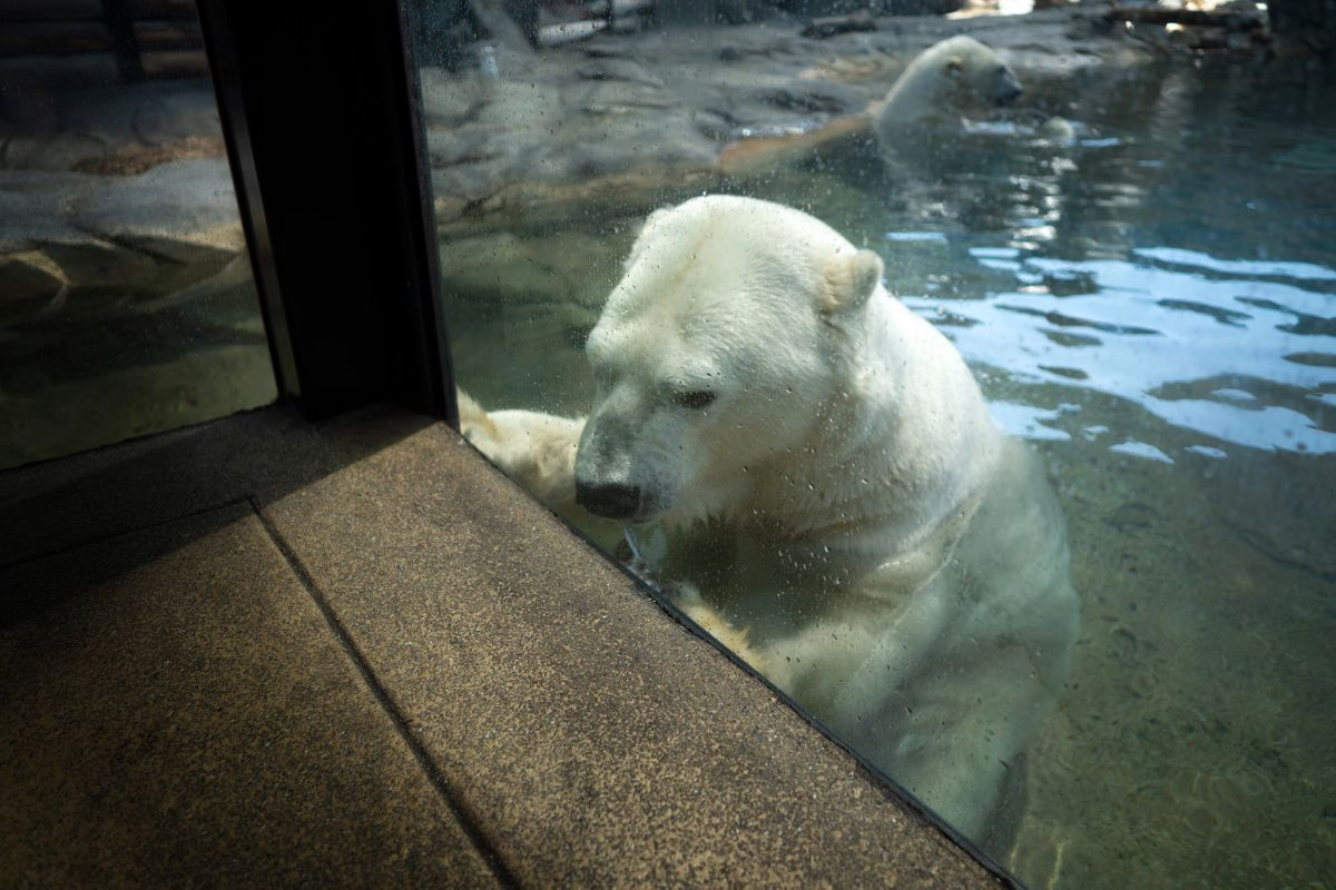 A polar bear at Sea World on the Gold Coast.
