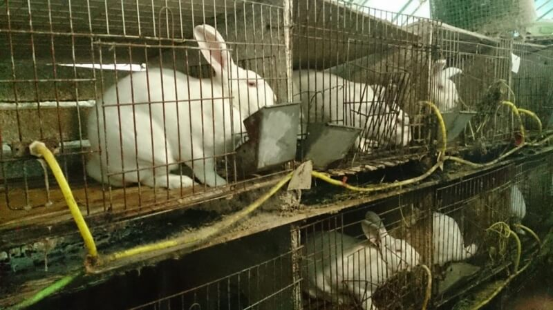 Rabbits in filthy wire cages