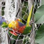 Rainbow lorikeet in netting.