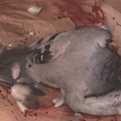 A Ramsgate bird after culling.