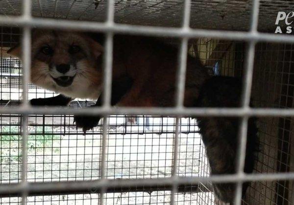 A terrified fox