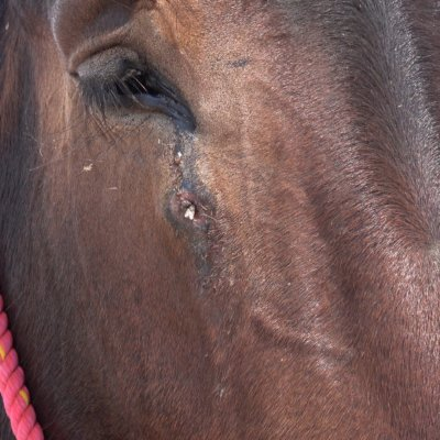 Many of the animals have open sores.