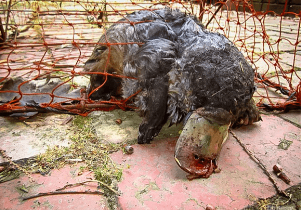 Platypuses Are Dying in These Nets – Ban Them NOW, Queensland!
