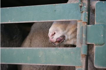 Sheep with Scabby mouth