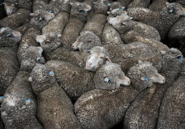 Animals Suffer in Australian Saleyards