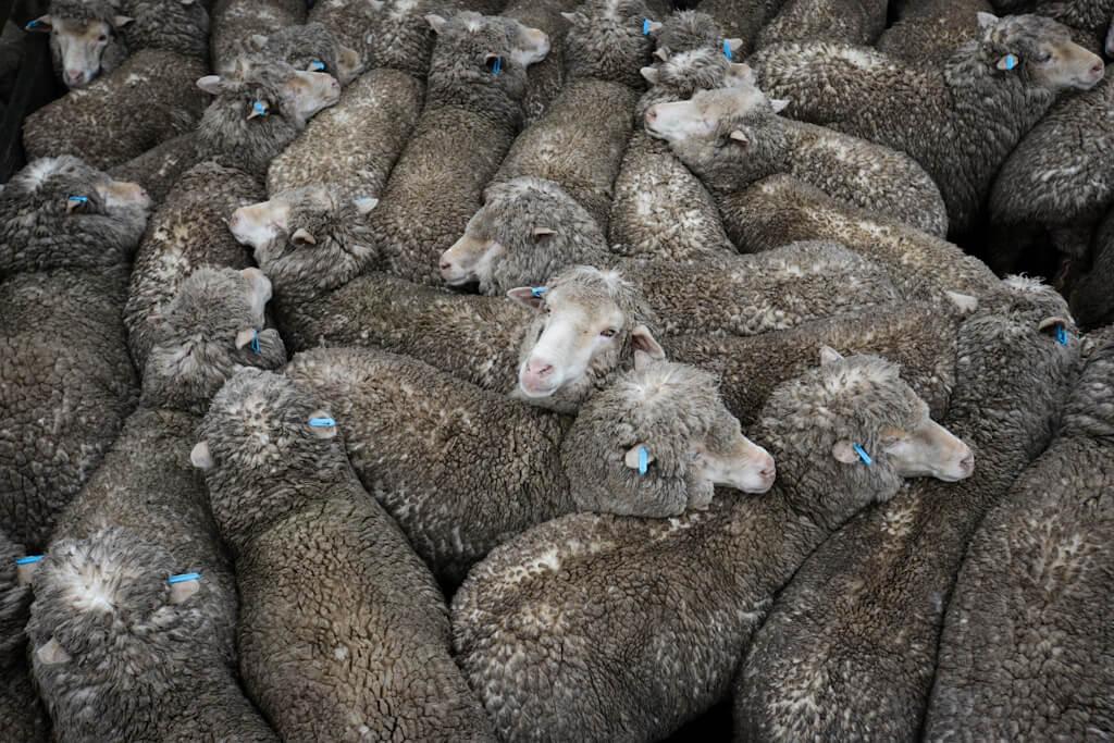 Sheep at saleyards