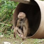 A photo of a monkey tethered by the neck.