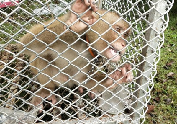 A photo of a monkey biting the walls of a cage.