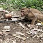 A photo of a monkey tethered and surrounded by rubbish.