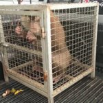 a photo of a monkey in a cage.