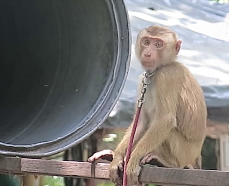 a photo of a monkey, tethered by the neck.