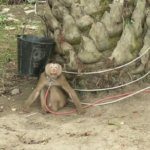 a photo of a monkey tethered by the neck to a tree.