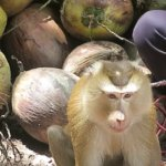A photo of a monkey with a pile of coconuts.
