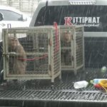 A photo of two monkeys locked in cages in the back of a ute.