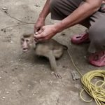 A photo of a monkey enslaved in the coconut picking industry.