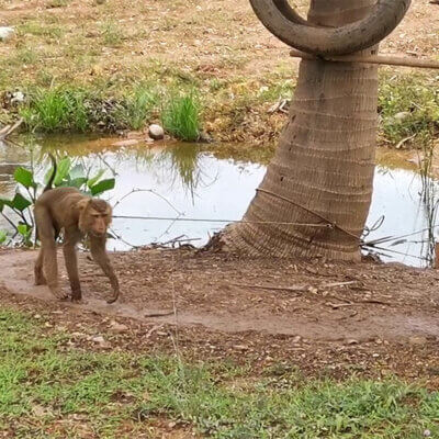 This monkey has worn a path into the dirt from pacing while tethered.