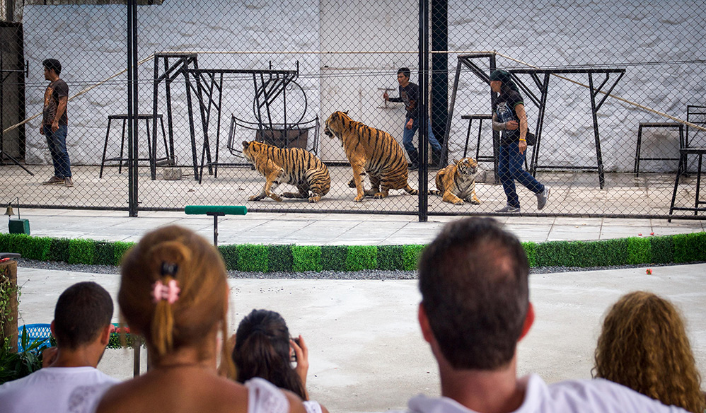 Tourists watch tigers in a performance.