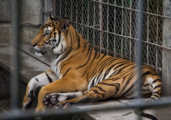 A photo of a tiger in a cage.