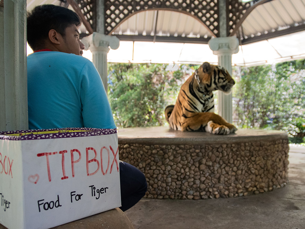 """A tiger used for photos in Thailand. A tip box nearby reads """"food for tiger""""."""