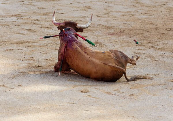 The victim of a bullfight in Pamplona.
