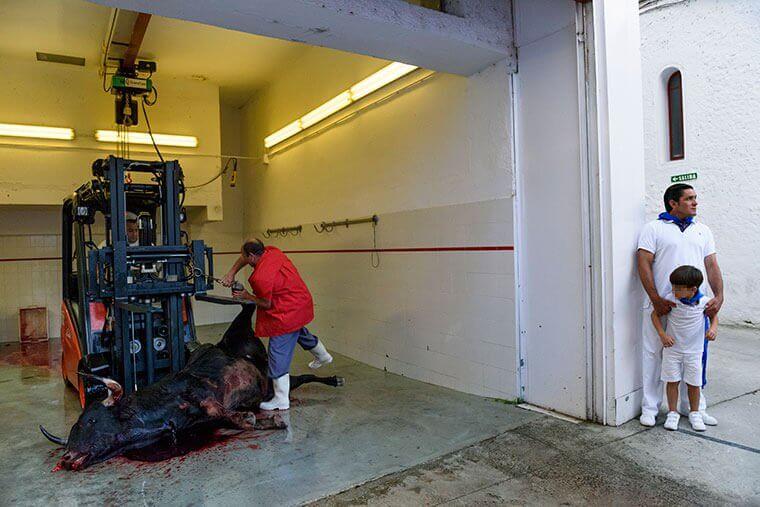 Image shows a dead bull