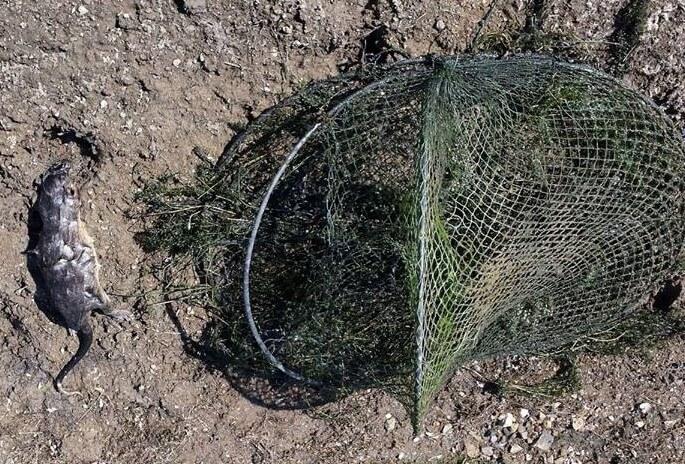 A rakali was found dead in an opera house net at Wivenhoe Dam