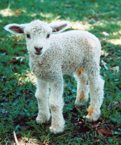Lambs are mulesed for Uniqlo