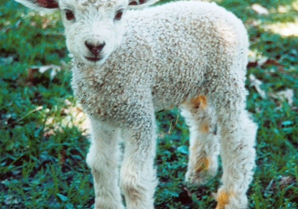 Uniqlo: Stop Buying Wool From Mulesed Sheep!