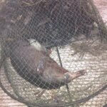 Platypus drowned in opera house net in Cedar Creek, Samford, Queensland.