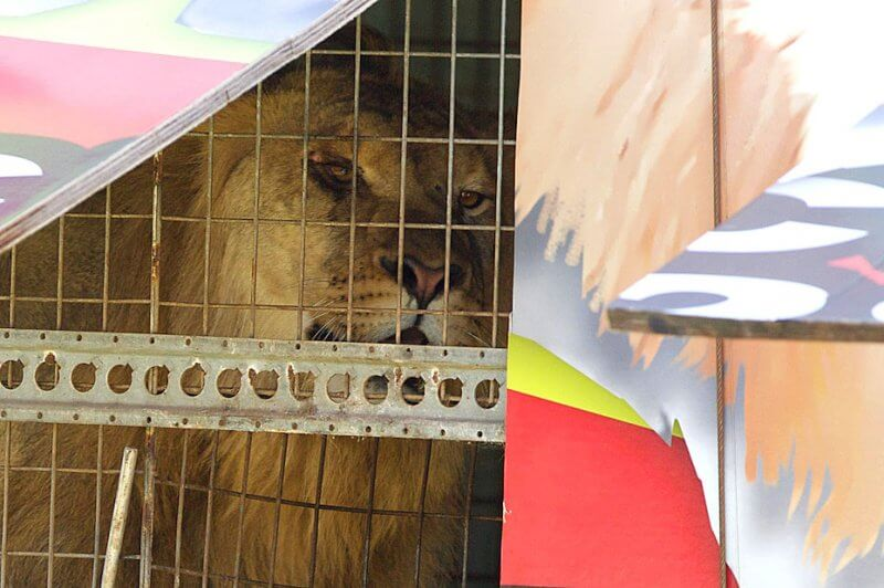 Lion at Stardust Circus, Australia