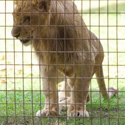 Lion cub at Stardust Circus, Australia