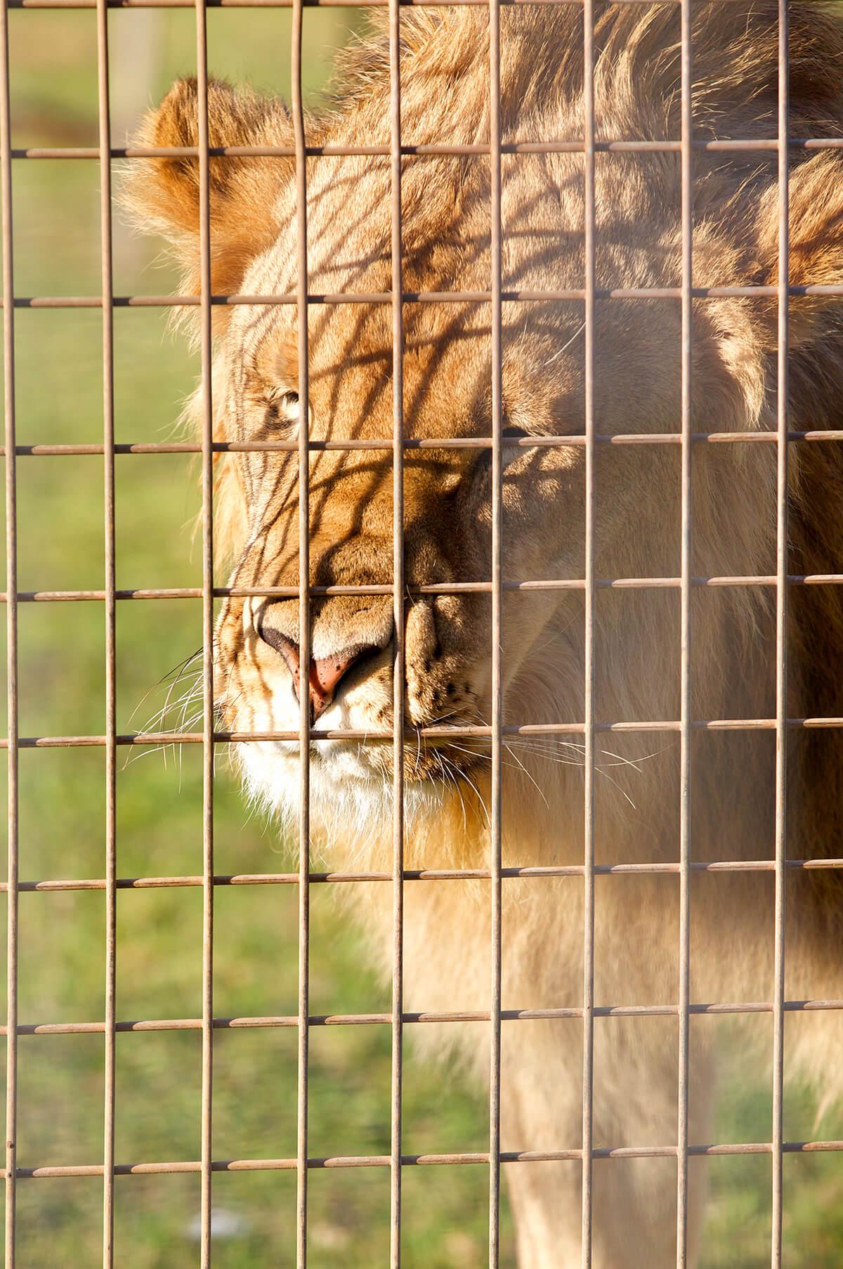 Lion at Stardust Circus, Australia