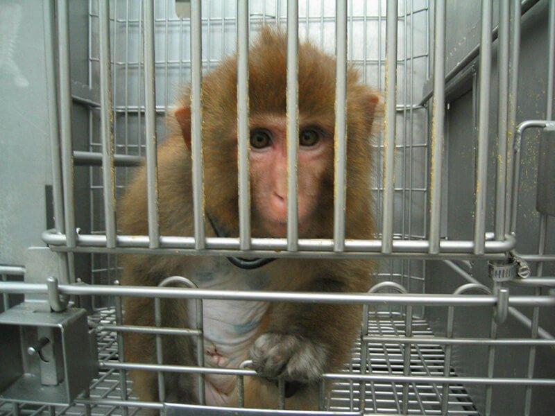 A monkey in a lab.