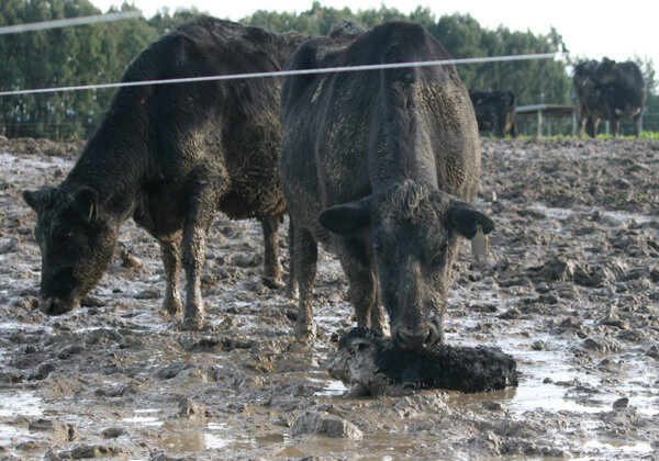 Intensive Winter Grazing in New Zealand Is a Welfare and Environmental Disaster