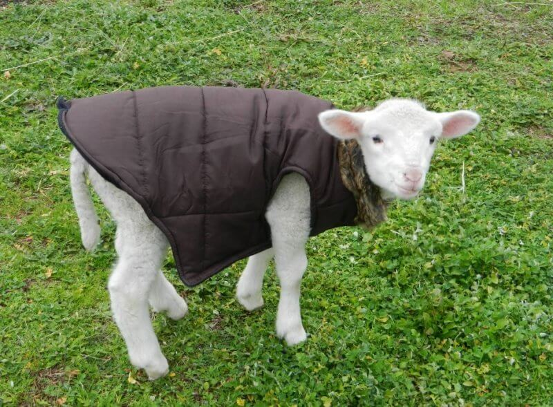 Woody the Rescued Lamb