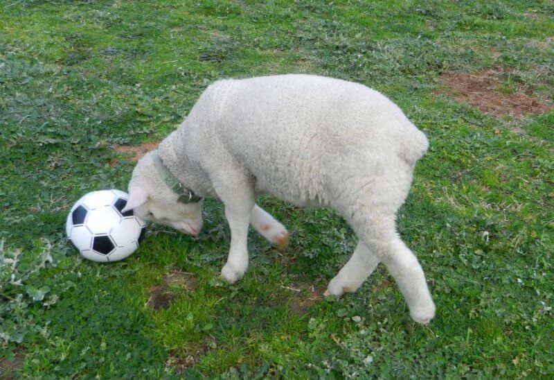 Woody the Rescued Lamb Headbutts Soccer Ball