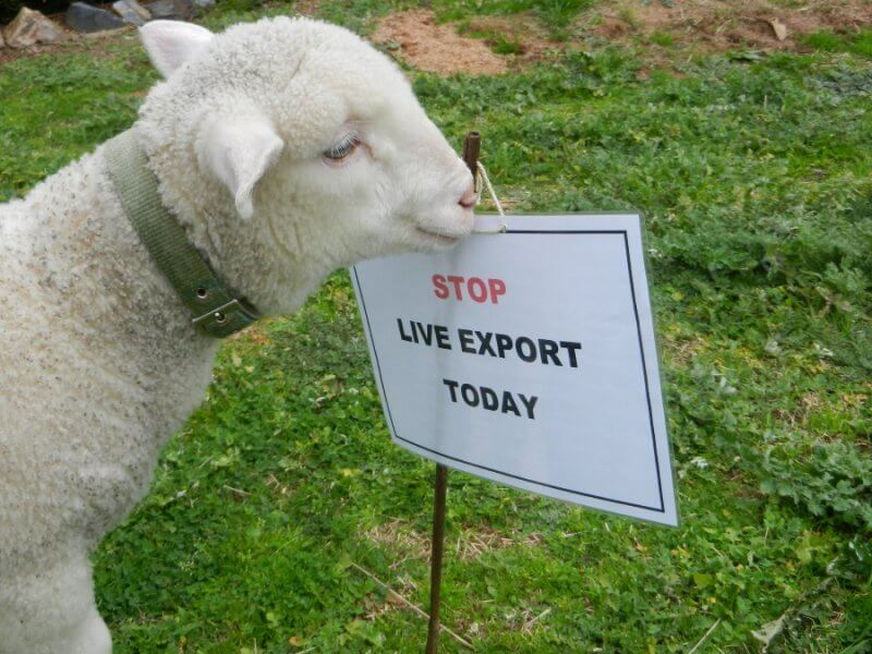 Woody the Rescued Lamb - Stop Live Export
