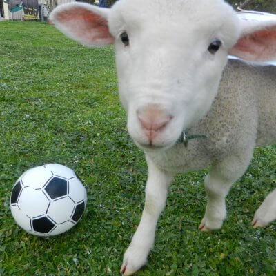Woody the Rescued Lamb With Soccer Ball