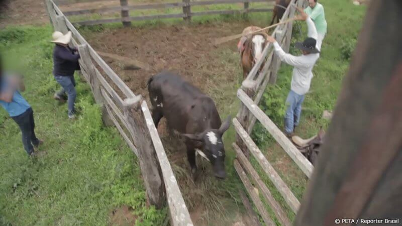 Cows being hit with sticks