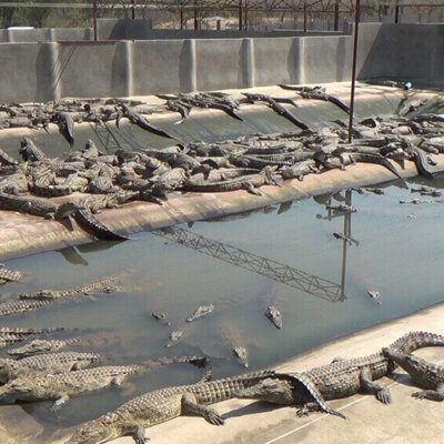 Young crocodiles packed into a pen.
