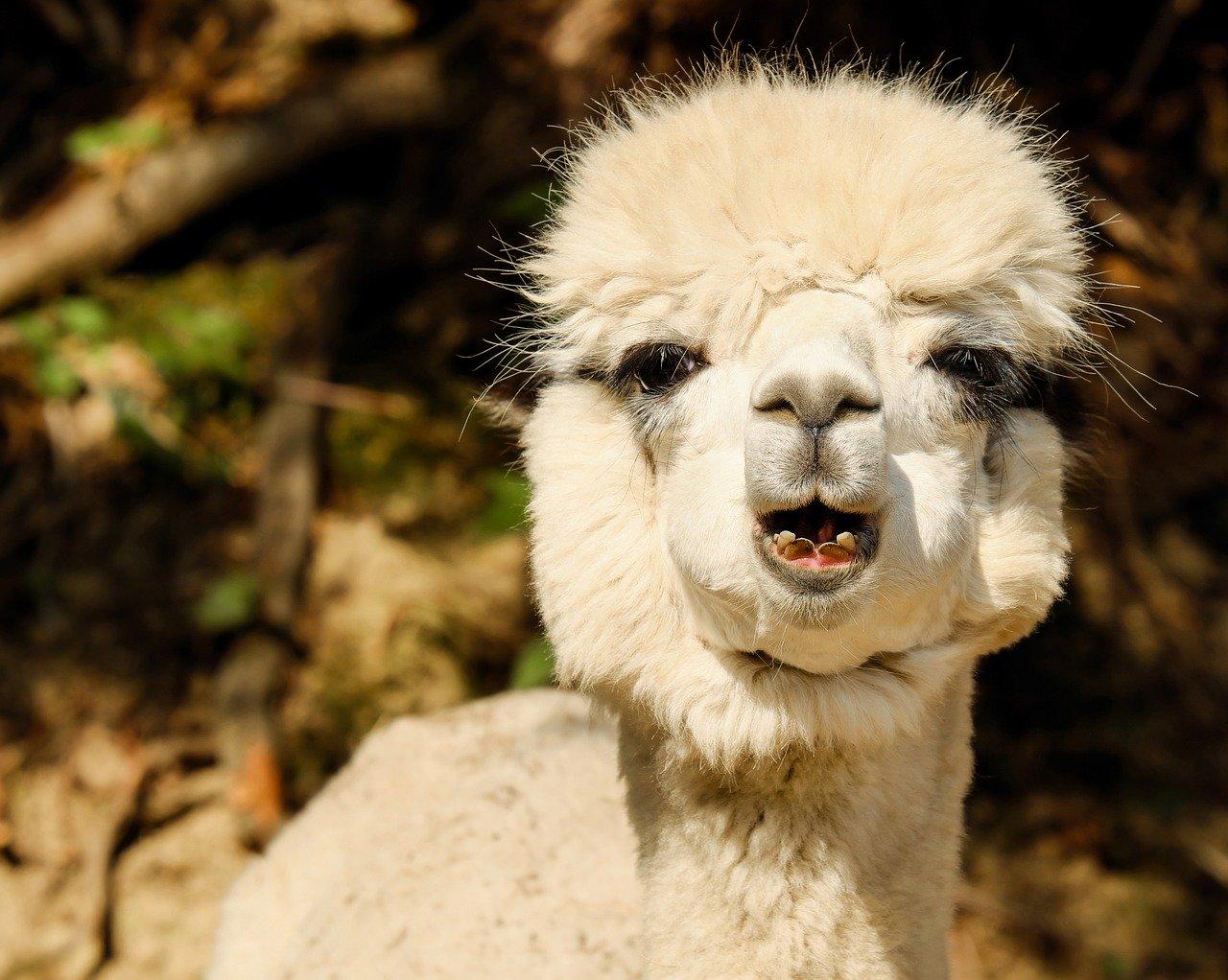 A happy alpaca.