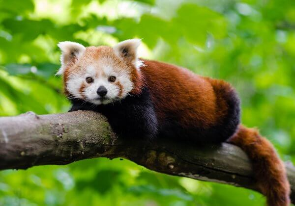 Tasmanian Government: Deny Zoo's Application to Import Red Pandas