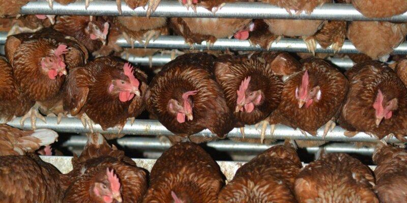 Hens on a free-range egg farm in Australia.