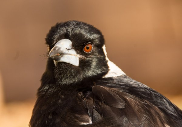 Magpie Swooping: How to Avoid Getting Hit