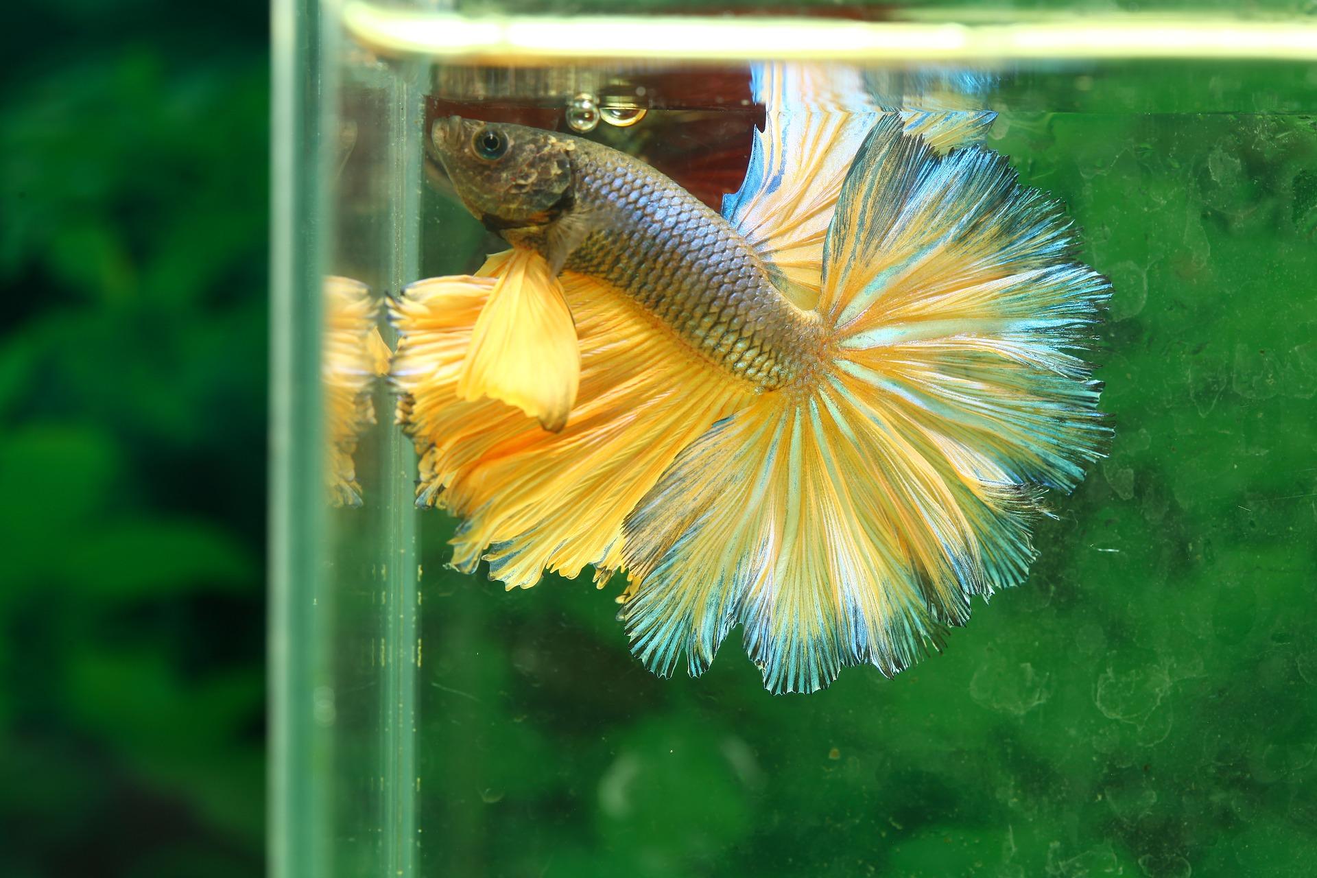 A Betta (Siamese fighting) fish.