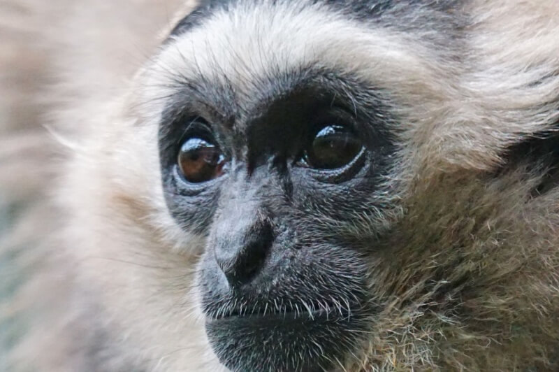 Black Caps Gibbon