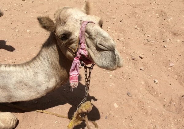 Horses, Donkeys, Mules, and Camels are Suffering in Jordan